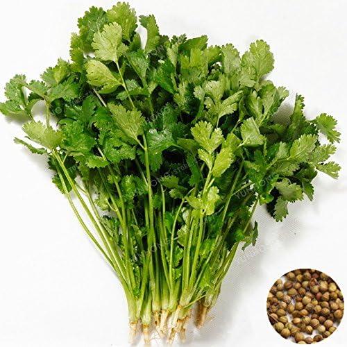 50 semillas de las PC Coriandrum Sativum Vegetable Seeds Balcón ...