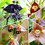 home & garden 100 Piece Potted Peru Monkey Face Orchid Seeds ,Orchis Simia Senior Phalaenopsis Bonsai Plants Flower Seeds,Plus M