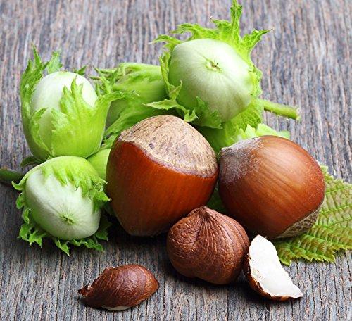 1 Bare Root of Jefferson Hazelnut Tree 4-5'