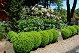 Suffruticosa Boxwood - Live Plants - Lot of 10 Shrubs in Gallon Pots