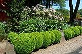 Suffruticosa Boxwood - Quantity 10 Live Plants in Gallon Pots by DAS Farms