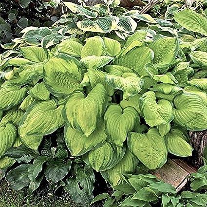 Amazon.com: Hosta Guacamole – Jumbo 2/3 plantas de raíces ...