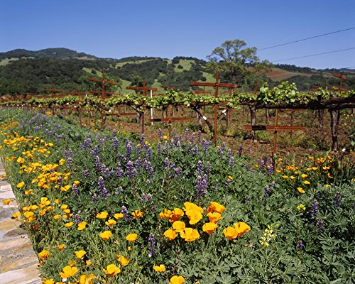 Wild poppies and lupine flowers in a vineyard Kenwood Vineyards Kenwood Sonoma County California USA Poster Print (22 x 27)