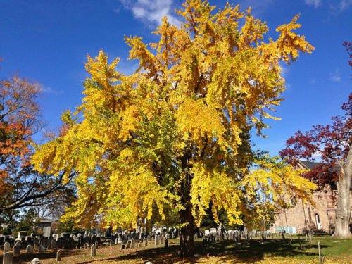 Planting Ginkgo Tree (Ginkgo Tree - 16 to 18