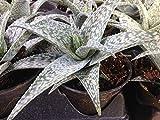 Aloe Rauhii 'WHITE FOX' live succulent 6+ inches, MEDICINAL PLANT vera