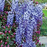 Blue Moon Wisteria Vine - Live Plant - Trade Gallon Pot