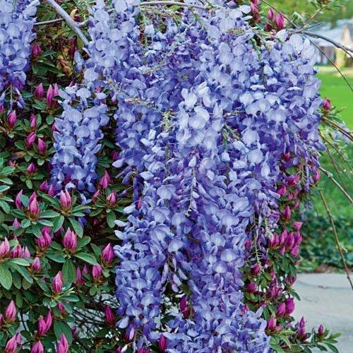 Blue Moon Wisteria Vine - Live Plant - Trade Gallon Pot by New Life Nursery & Garden