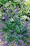 1 Strater Plant of Nepeta X Faassenii 'Felix' - Nepeta Faassenii 'Felix'
