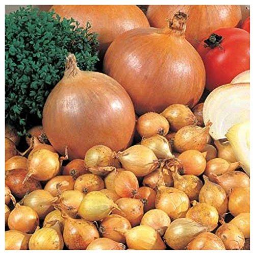 10 Bulbs Spring Planting for Summer Harvest Yellow Onion Sets Allium (Planting Allium Bulbs)
