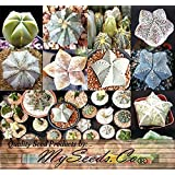 10 x Astrophytum Hybrids Cactus Succulent Seeds - Sand Dollar Cactus, Sea Urchin Cactus - HIGHLY DESIRABLE & SOUGHT AFTER - Gorgeous Patterns and Markings - FRESH SEEDS - By MySeeds.Co