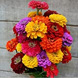 David's Garden Seeds Flower Zinnia California Giants DGS0987 (Multi) 500 Heirloom Seeds