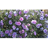 Rose of Sharon - Purple Althea - 2' - 4 ' Tall - Bush/Shrub - Healthy Established - Gallon Potted - 1 Plant by Growers Solution