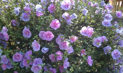 Rose of Sharon - Purple Althea - 2' - 4 ' Tall - Bush/Shrub - Healthy Established - Gallon Potted - 1 Plant by Growers Solution (Roses Potted)