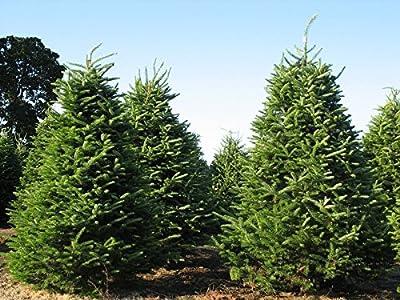 Tree Seeds - 30 Seeds of Balsam Fir, Abies balsamea (Fragrant Hardy Evergreen, Bonsai)
