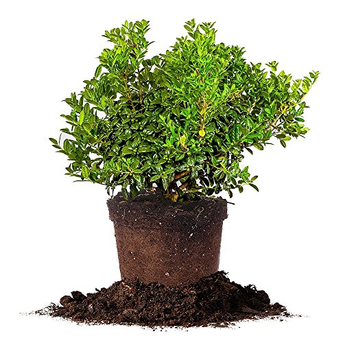 Wholesale DWARF BURFORD HOLLY - Size: 3 Gallon, live plant, includes special blend fertilizer & planting guide for cheap