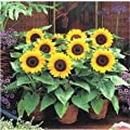 `200 mini sunflower seeds Dwarf sunflower seeds sunflower series height 40cm Flower Seeds
