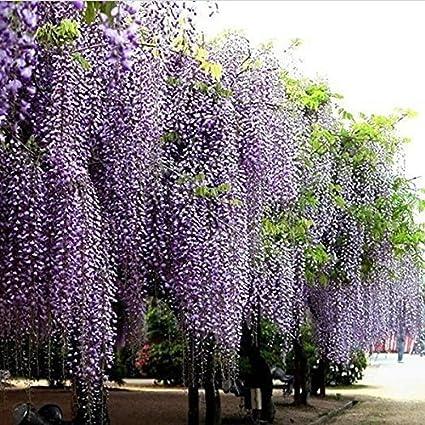 Bluelover 10Pcs Semillas De Flores De Glicina Púrpura Wisteria Sinensis Para La Planta De Jardín De Bricolaje