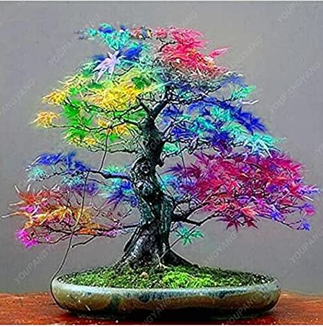 50 Maple Seeds Rare Rainbow Maple Tree Seeds Japanese Bonsai Tree For Home Garden Planting Natural Growth Potted Plants Amazon Ca Patio Lawn Garden
