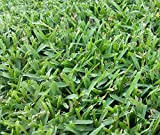 Seed Ranch St Augustine Seville Grass Plugs - 2 Trays