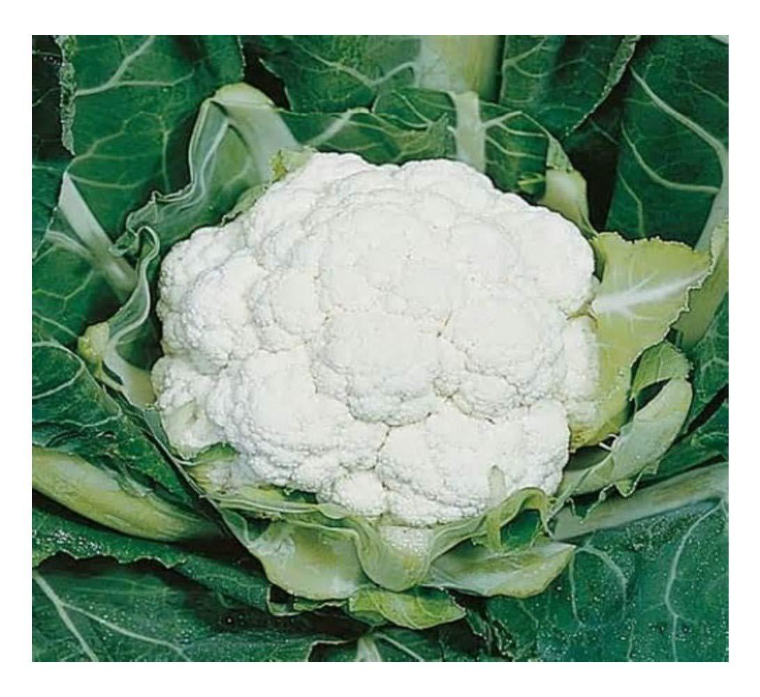 CAULIFLOWER - ALL YEAR ROUND - 1100 FINEST SEEDS Premier Seeds Direct CAU06