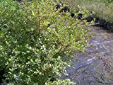 Randia aculeata, White Indigo Berry - 7 Gallon Live Plant