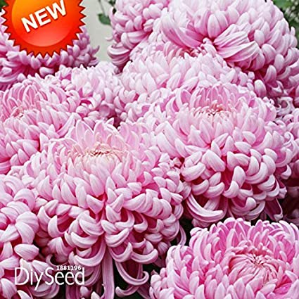 Amazon new fresh seeds 100 seedspack beautiful light pink new fresh seeds 100 seedspack beautiful light pink chrysanthemum seeds morifolium seeds diy gardening mightylinksfo