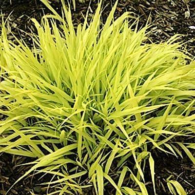 AchmadAnam - Live Perennial Plant - 10 All Gold Japanese Forest Grass - HAKONECHLOA Macro - : Garden & Outdoor