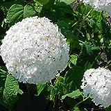 Vivai Le Georgiche Hydrangea Arborescens Annabelle (Ortensia)
