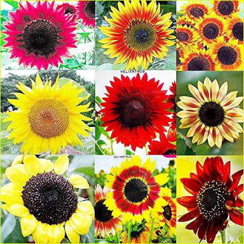 800 Seeds Sunny Sun Power Sunflower Mix, 10 Species