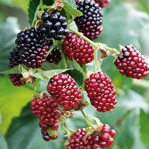2 Boysenberry Plants - Red Berry - Organic - ORDER NOW for FALL PLANTING !!! by Ozark Locally Grown