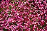 Saxifraga mixed seeds - Saxifraga arendsii