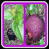 UBE Purple Yam Starter Plant, Dioscorea Alata(5 Plants)
