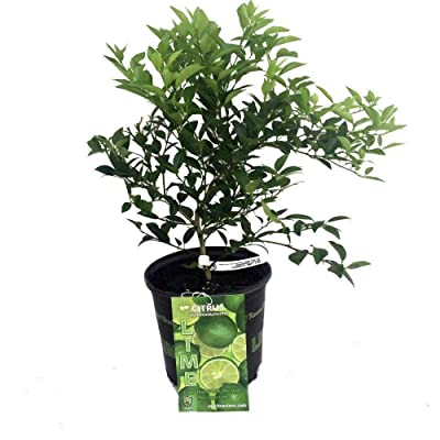 "AchmadAnam - Live Plant Key Lime Live Tree 8"" Pot NO Ship TX, FL, AZ, CA, LA, HI Best Gift Garden : Garden & Outdoor"
