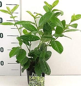 40 Kirschlorbeer Pflanzen Prunus Laurocerasus Novita Hohe 30 40
