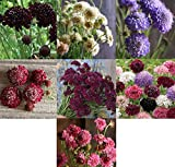 David's Garden Seeds Collection Set Flower Scabiosa Open Pollinated 8583 (Multi) 7 Varieties 800 Seeds (Non-GMO, Open Pollinated)