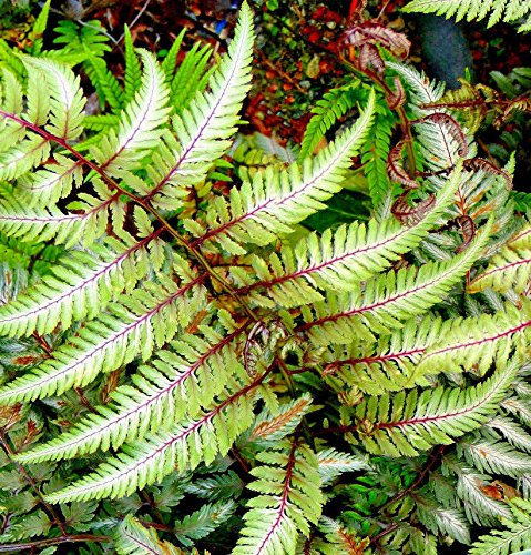 (JAPANESE PAINTED FERN 'REGAL RED' 1005 SPORES (SEEDS) RED, GREEN, SILVER LEAVES)
