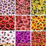 9 Colors Calibrachoa Organic Petunia Seed, 200 Seed/Pack, Mixed39;Garden Petunia39; Very Beautiful Flower Seed-WANCHEN