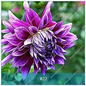 ZLKING 2pcs Semillas real de la dalia de los bulbos de flor de Bonsai bombillas no dalia planta perenne con bulbo en maceta Raíz para jardín 22