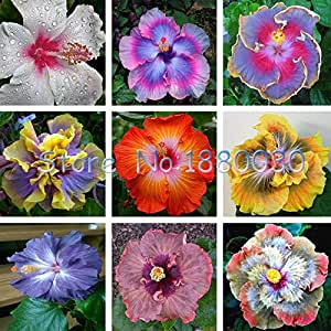 Hot Sale! Beautiful 24 different colors Japanese bonsai potted hibiscus seed courtyard garden flowers 50PCS
