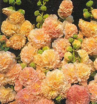 Amazon.com : Peaches and Dreams Hollyhock 35 Seeds/Seed : Flowering on