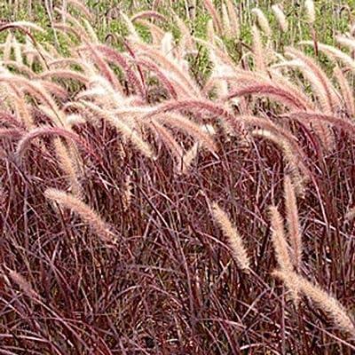 AchmadAnam - Live Plants 18 Rubrum Purple Fountain Grass - PENNISETUM advena - : Garden & Outdoor