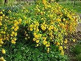 KERRIA JAPONICA 'FLORE PLENO'- PLANT - 4 INCH POT