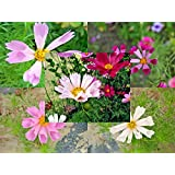 HATCHMATIC Seeds Package: 100 Cosmos Sea Mix Seeds Cosmos Bipinnatus *Easy Grow* Exotic Combsh I38