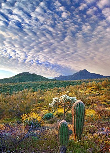 (Posterazzi Poster Print Collection Saguaro and Teddybear Cholla Amid Flowering Lupine and California Brittlebush Tim Fitzharris, (10 x 14), Multicolored)