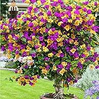 Portal Cool Amarillas: Semillas Semillas 100 piezas coloridas buganvillas Balcón Tiesto * Jardín flores en