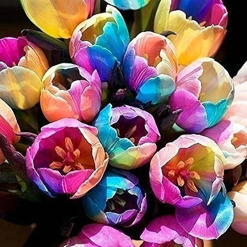 Rainbow Tulip Seeds,Potted Tulip Flower Seeds,Flower Seeds of Rare Species, 100 particles / bag