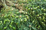 nut Pea Seeds Vegetable Chickpeas Heirloom Vegetable Seeds. 100 Seeds