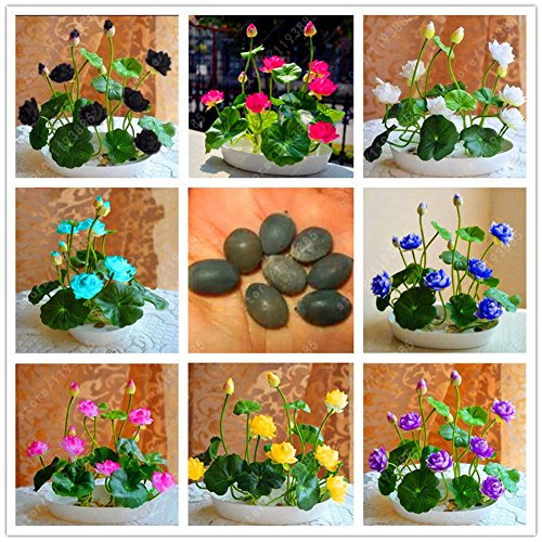 Delaman 10Pcs Muti-Color Lotus Seed Hydroponic Aquatic Plants Flower Seeds Pot Water Lily Seeds