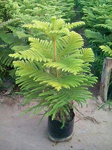Buy Plantsworld Christmas Tree Live Plant Online At Low Prices In