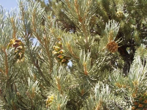 Pinus cembroides monophylla Single Leaf Pinyon Pine Tree Seeds!